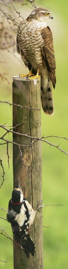 *Cooper's Hawk Spotted Woodpecker
